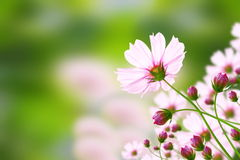Rosafarbener Kosmos der Blume Stockbild