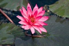 Rosafarbener Lilie Nymphaea auf der Wasseroberfläche Stockfotos