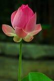 Rosafarbener Lotos Stockbilder