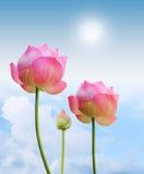 Rosafarbener Lotos lizenzfreie stockbilder