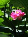 Rosafarbener Lotos Stockfoto