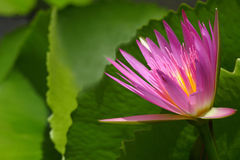 Rosafarbener Lotos auf Grün Stockfotografie