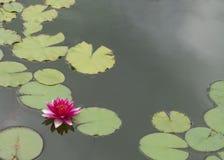 Rosafarbener Lotos (Wasser-Lilie) Stockfotos