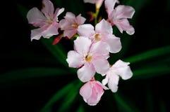 Rosafarbener Oleander Stockbilder