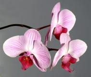Rosafarbener Orchideeblumenstrauß lizenzfreies stockfoto