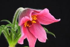 Rosafarbener pasque Blume Pulsatilla Lizenzfreie Stockfotos