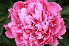 Rosafarbener Pfingstroseabschluß oben Stockbilder