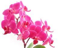 Rosafarbener Phalaenopsis Lizenzfreies Stockfoto