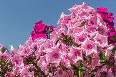 Rosafarbener Phlox Stockbilder