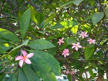 Rosafarbener Plumeria stockfotos