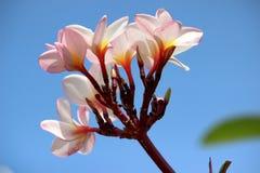 Rosafarbener Plumeria Stockbild