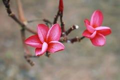Rosafarbener Plumeria Stockfoto