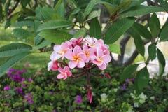 Rosafarbener Plumeria Lizenzfreie Stockbilder