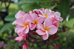 Rosafarbener Plumeria Lizenzfreie Stockfotografie