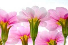 Rosafarbener Primula lizenzfreie stockbilder