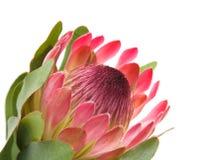 Rosafarbener Protea Stockbilder
