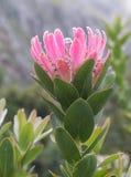 Rosafarbener Protea Stockfotografie