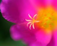 Rosafarbener Purslane Stockbild