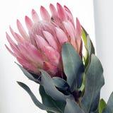 Rosafarbener quadratischer Nadelkissen Protea lizenzfreie stockfotografie