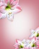 Rosafarbener Rand Blumen der Amaryllis Lizenzfreie Stockfotos