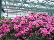 Rosafarbener Rhododendron Lizenzfreie Stockbilder