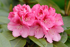 Rosafarbener Rhododendron lizenzfreies stockfoto