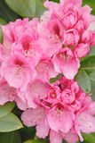 Rosafarbener Rhododendron stockfotografie
