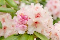 Rosafarbener Rhododendron stockbilder