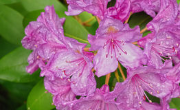 Rosafarbener Rhododendron Lizenzfreies Stockbild