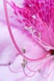 Rosafarbener Rhododendron Lizenzfreie Stockfotos