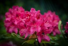 Rosafarbener Rhododendron Stockfoto