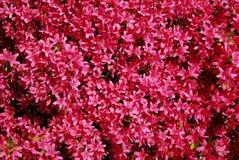 Rosafarbener Rhododendron des Hintergrundes lizenzfreie stockfotos