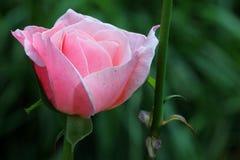 Rosafarbener Rosebud Stockfotografie
