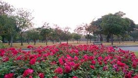 Rosafarbener Rosegarten Stockfoto