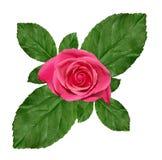Rosafarbener Rosehintergrund Stockfotografie