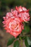 Rosafarbener Rosen-Block Stockfoto