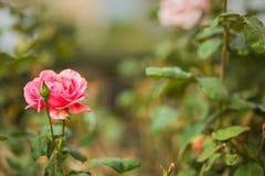 Rosafarbener Rosen-Hintergrund Stockbilder