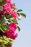 Rosafarbener Rosenbusch stockfotografie