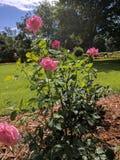 Rosafarbener Rosenbusch Stockfotos