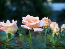 Rosafarbener Rosengarten stockfotos