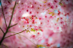Rosafarbener Sakura 01 Stockfotos