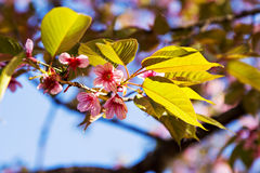 Rosafarbener Sakura stockfoto