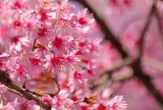 Rosafarbener Sakura Stockfotos