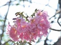 Rosafarbener Trompetebaum stockbild
