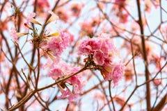 Rosafarbener Trompetebaum stockbilder