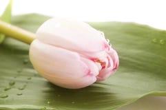 Rosafarbener Tulpeabschluß oben Lizenzfreie Stockbilder
