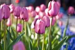 Rosafarbener Tulpefrühling Stockbild