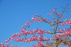 Rosafarbener Weigelabaum (Himmelhintergrund) Lizenzfreie Stockfotos