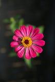 Rosafarbener Zinnia Lizenzfreie Stockfotografie