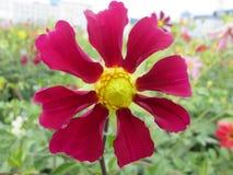 Rosafarbener Zinnia stockfoto